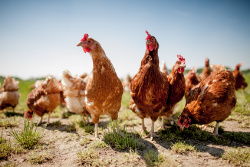 Hühner Beleuchtung | Huhner Kunstliche Beleuchtung